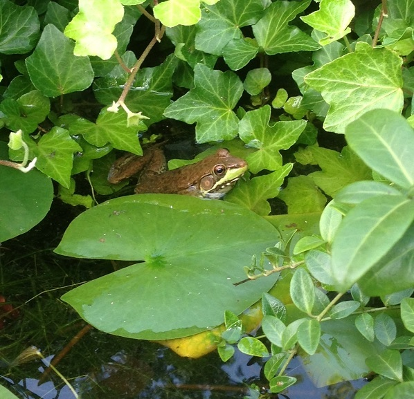 Frog In Lilies Closeup
