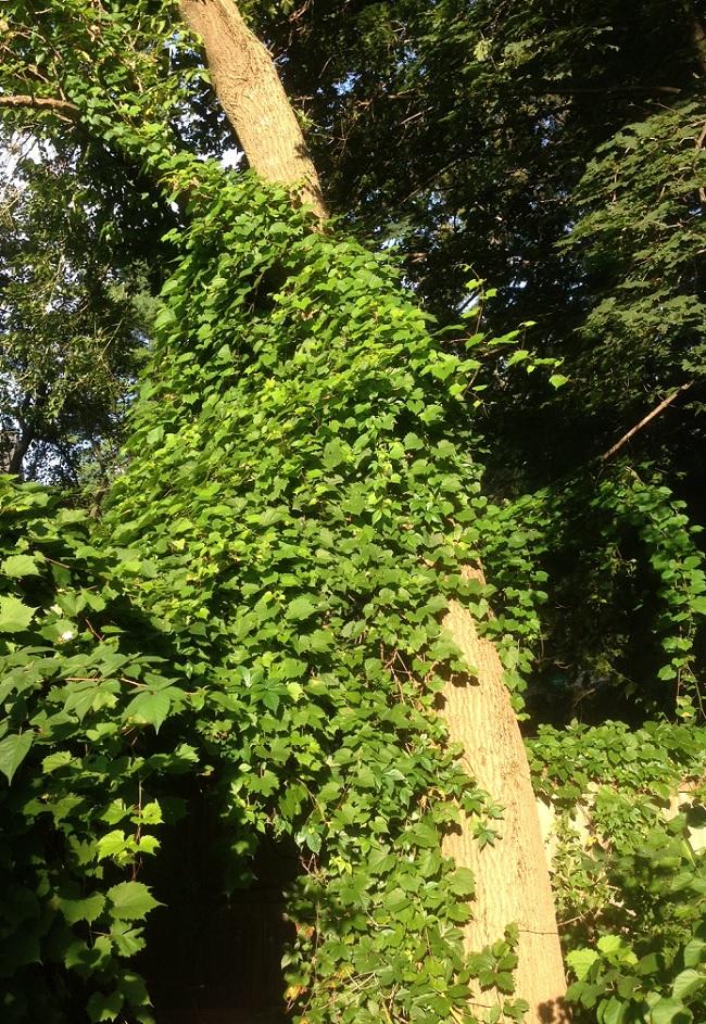 Grapevine on Tree