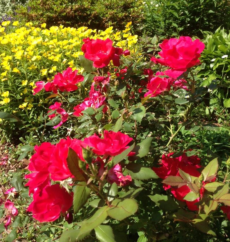 Hot Pink Rocket Roses