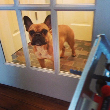 Bartlet the French Bulldog