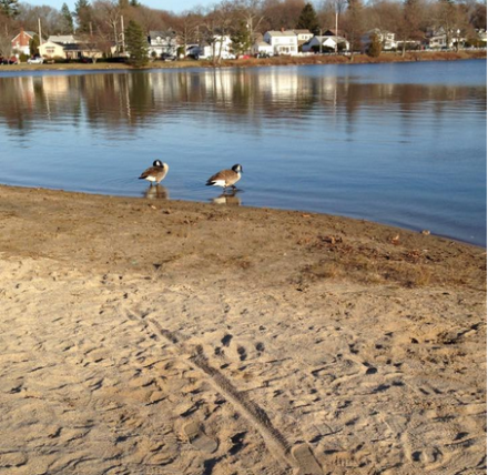Ducks at Lake Quannapowitt